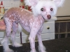 Chinese Crested - Hairless